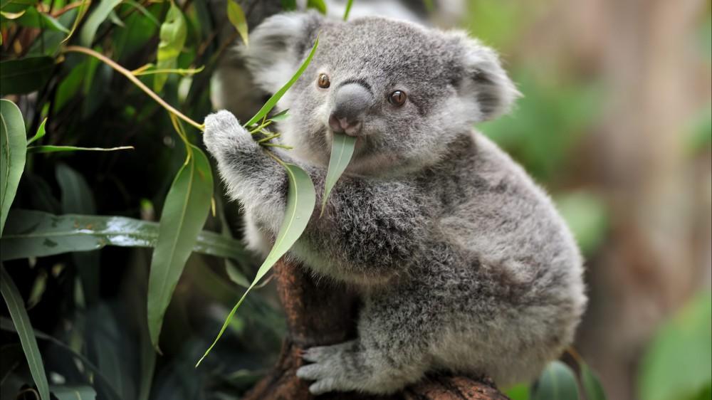 Allarme Koala, ne restano solo 35mila nell'Australia Orientale; l'estinzione è prevista entro il 2050