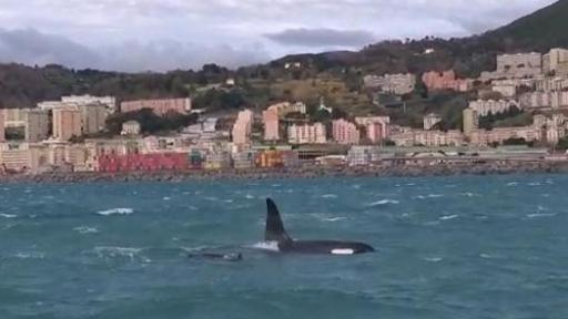 Branco di orche avvistato davanti al porto di Genova