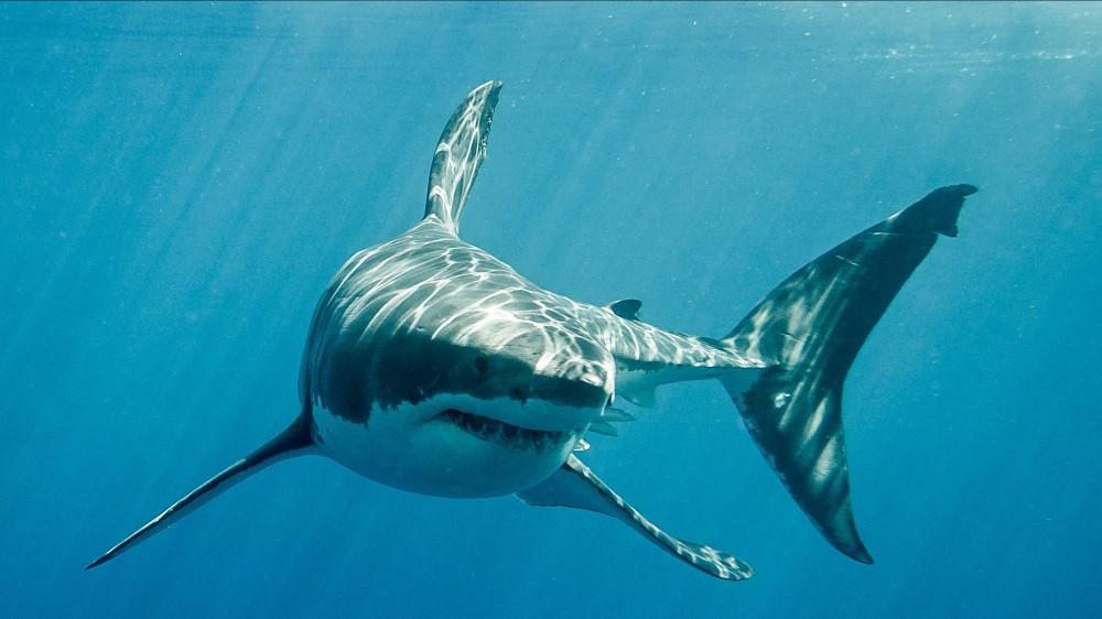 Diciannove milioni di anni fa il 90% degli squali della terra morì e gli scienziati non sanno perché