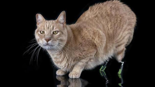 Due protesi al posto delle zampe, ecco Vito il gatto bionico