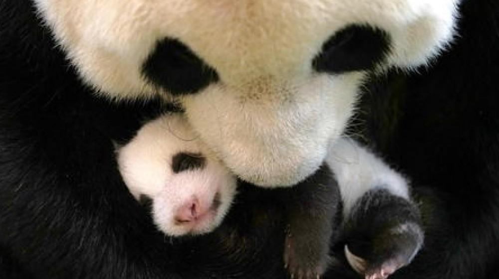 I panda giganti, simbolo del WWF,  non sono piu' a rischio di estinzione, ma restano una specie vulnerabile