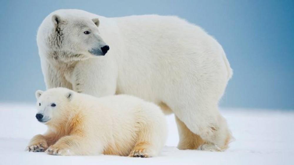 Oggi è la giornata mondiale dell'orso polare, l'animale che è diventato un simbolo dei cambiamenti climatici
