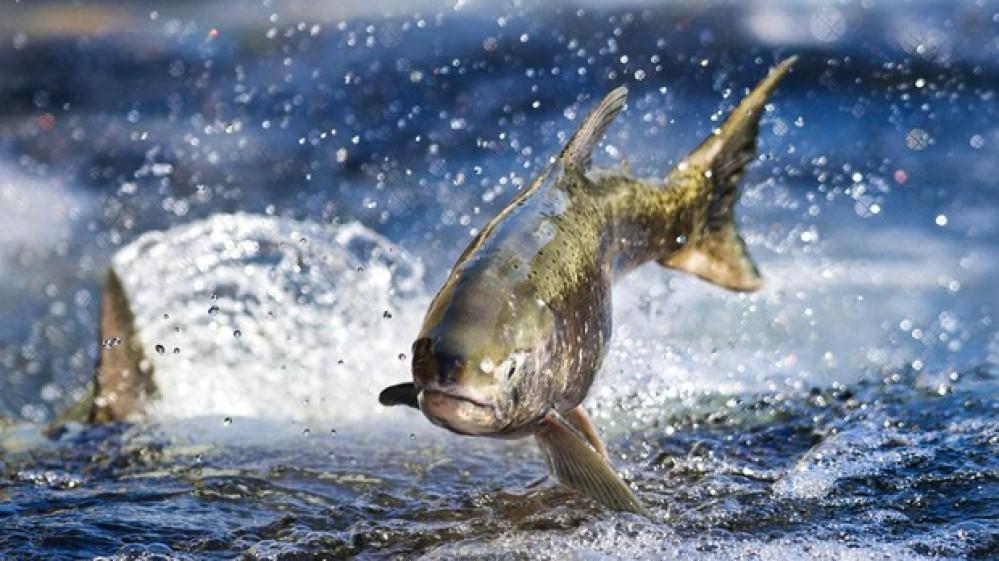 Vietati gli allevamenti di salmone in Argentina, è il primo caso al mondo
